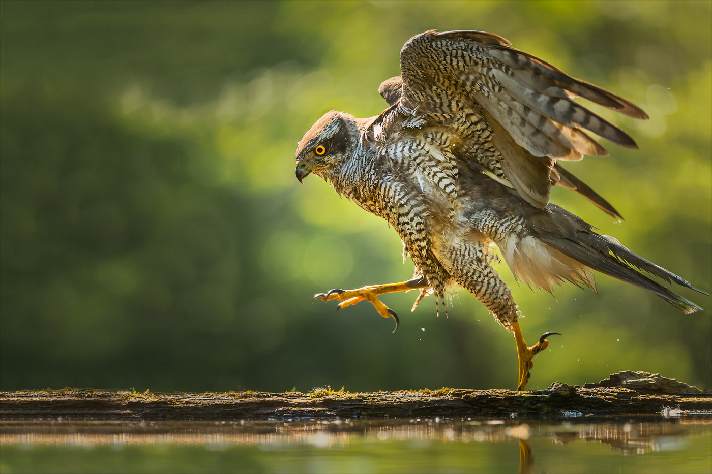 jumping goshawk
