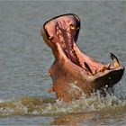 jumping hippo