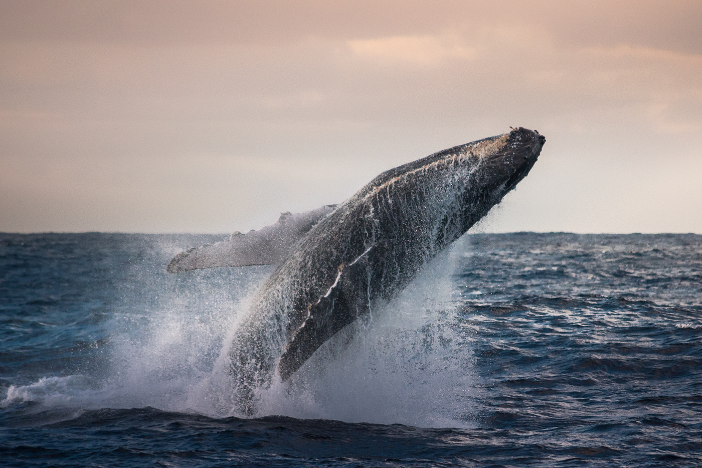 Jumping Humpback Whale... early in the morning