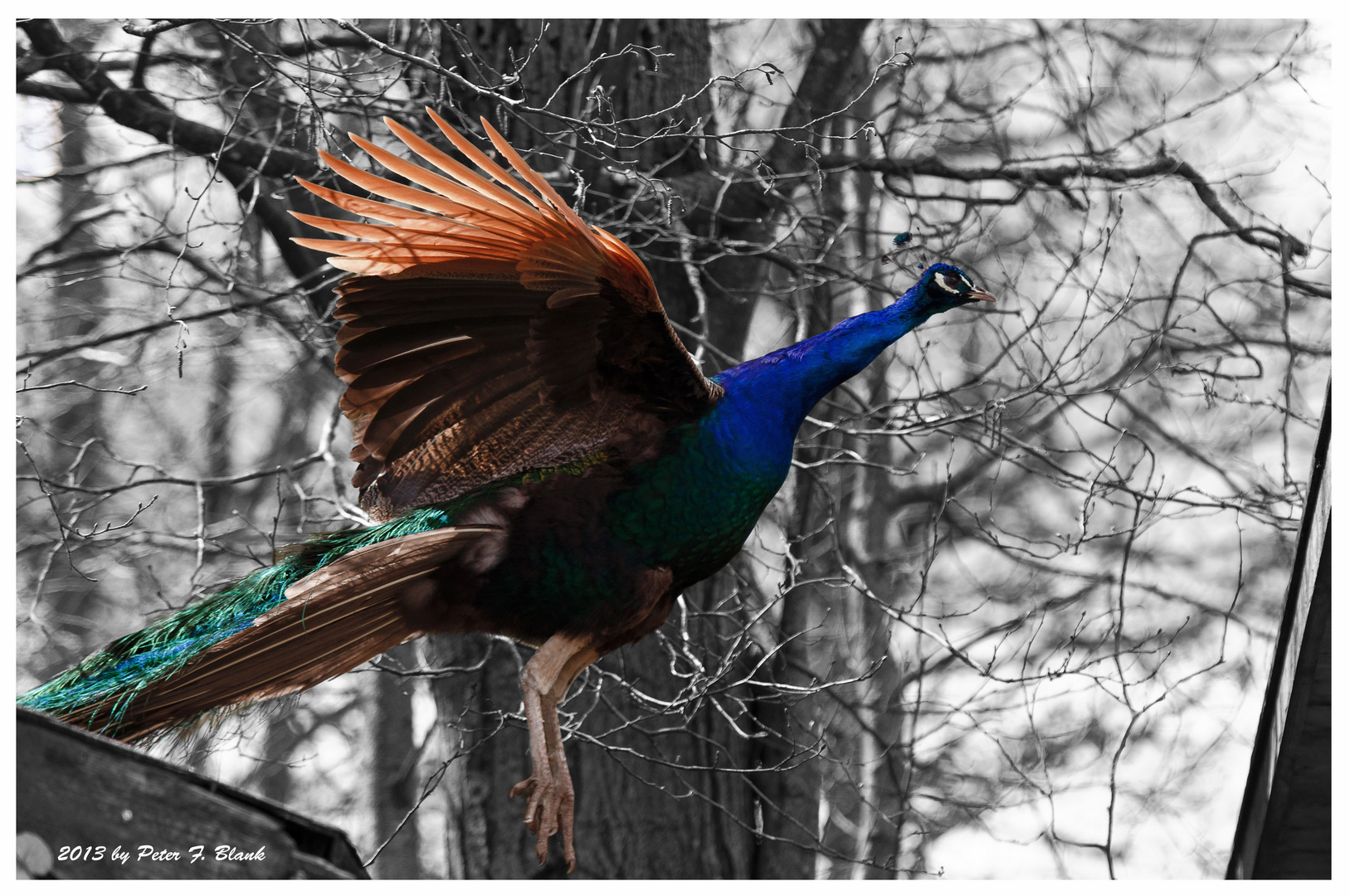 jumping peacock