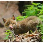 -Jung Fuchs 5 - ( vulpes vulpes )