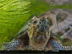 Junge Ägyptische Landschildkröte beim Tauchen