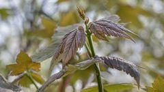 Junge AHORN-Blätter  (2)