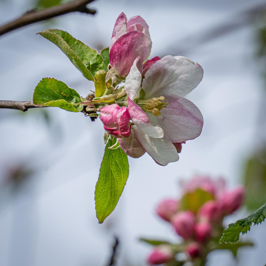 junge Apfelblüte