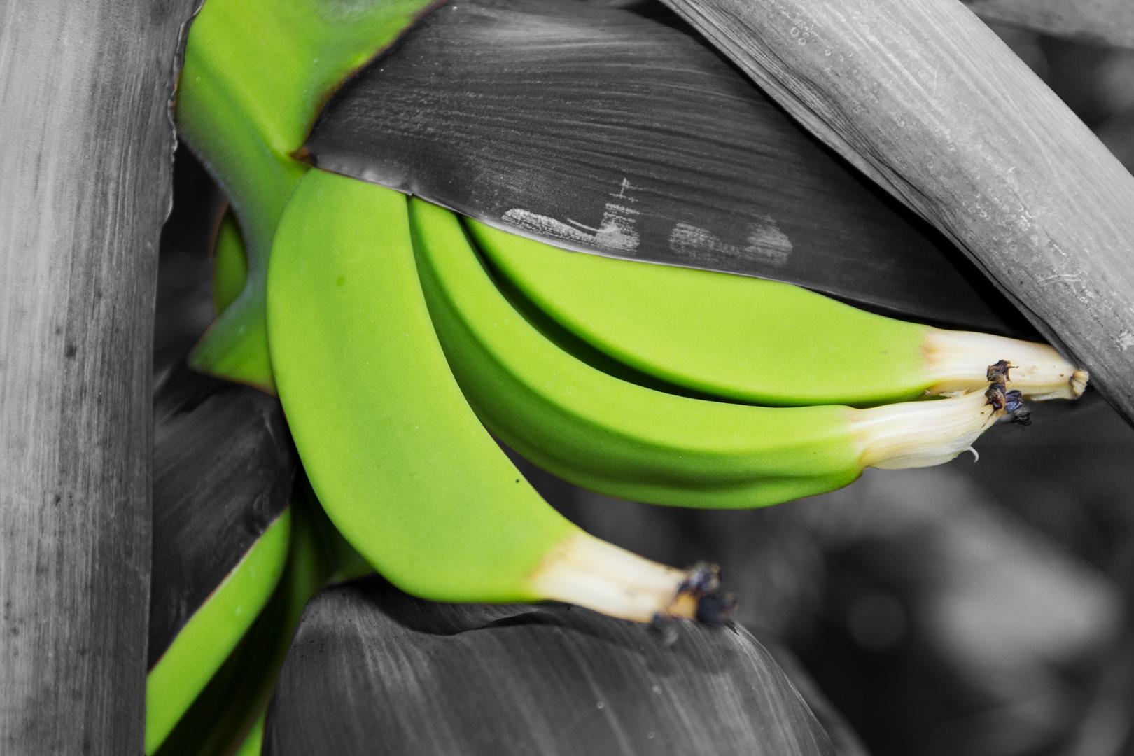 Junge Bananen