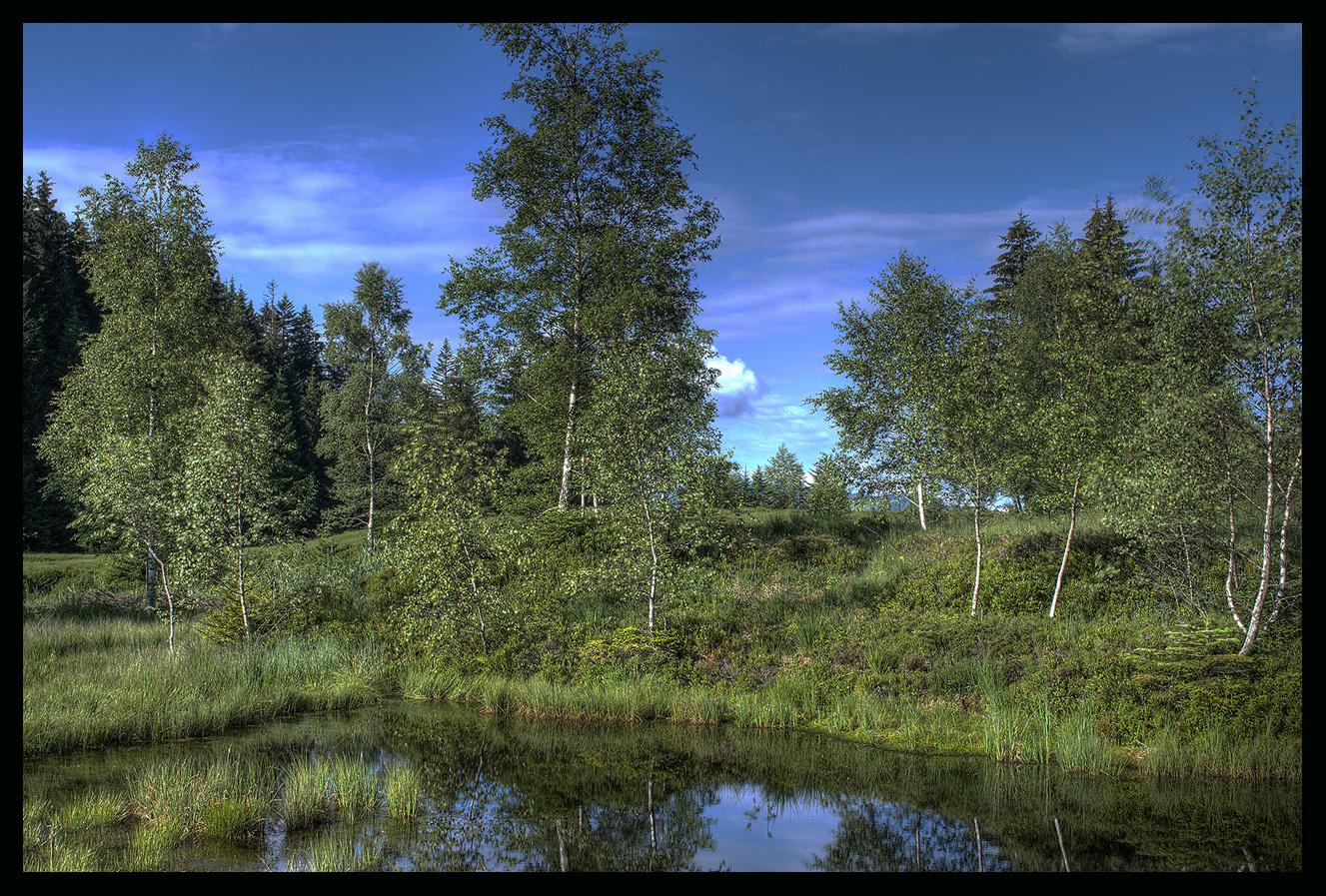 Junge Birken im Hochmoor