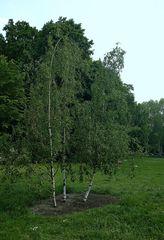 Junge Birken im Treptower Park