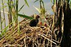 Junge Blesshühner im Nest (NSG Tibaum)