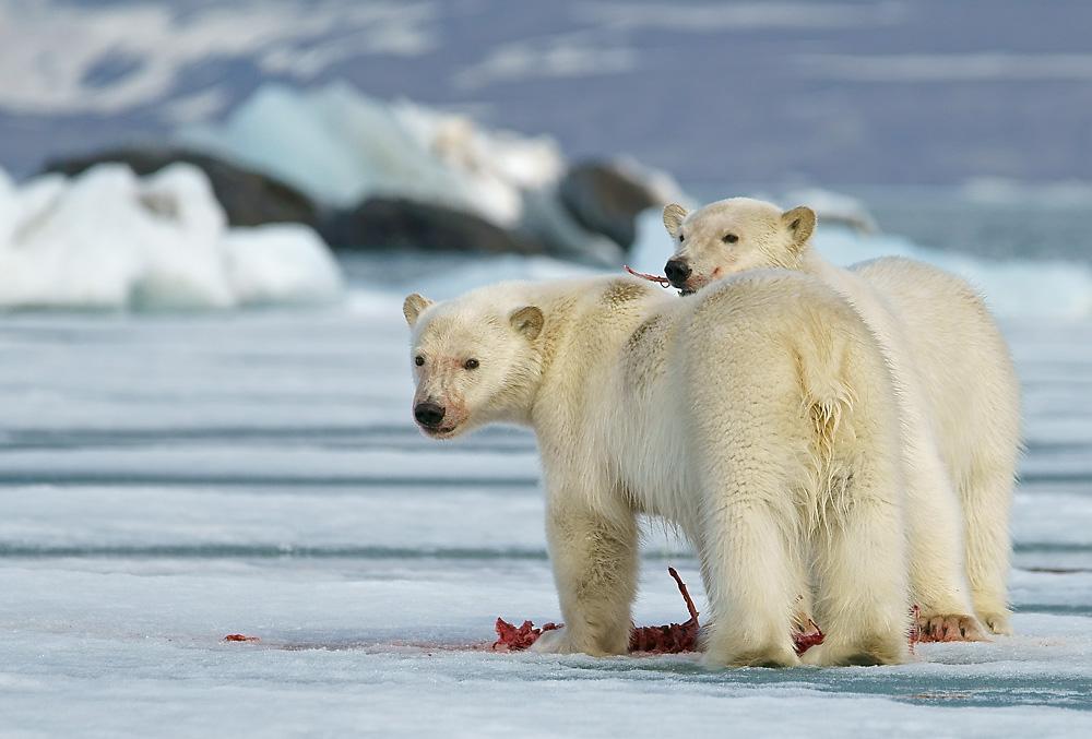 Junge Eisbären