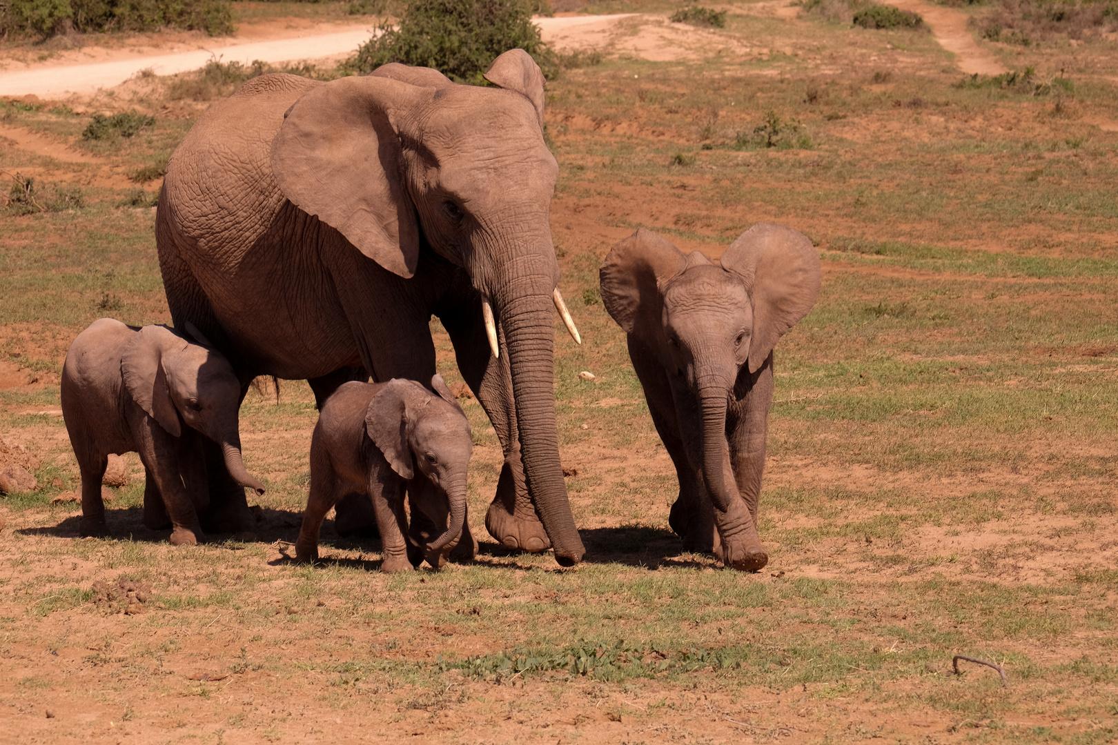 Junge Elefanten mit Babysitterin