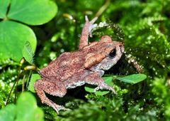 Junge Erdkröte im tiefen Wald (Bufo bufo) - Jeune crapaud dans la forêt!