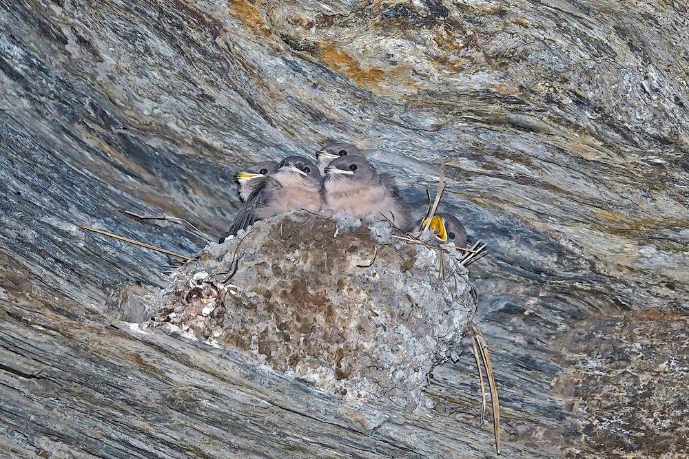 Junge Felsenschwalben (Ptyonoprogne rupestris) - Hirondelles de rochers.