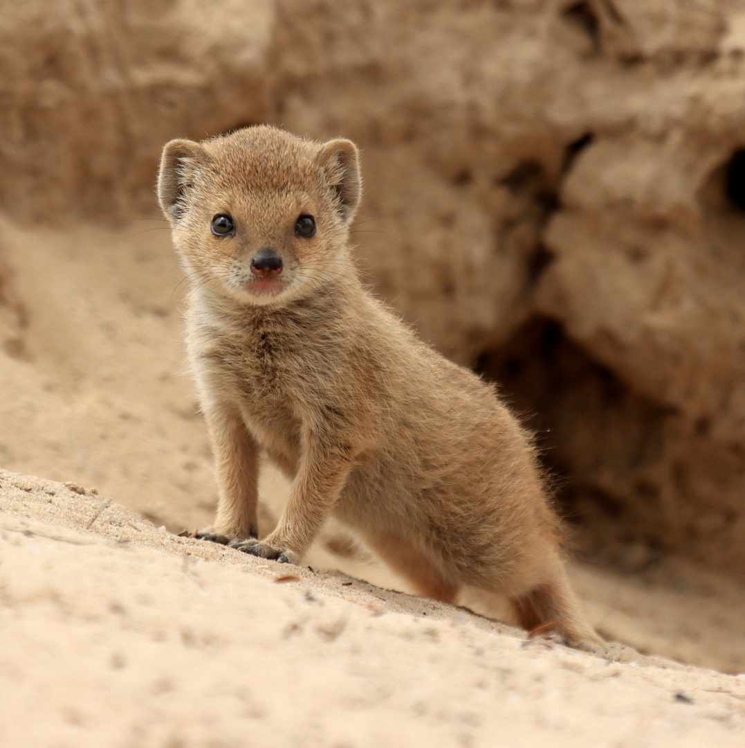 Junge Fuchsmanguste