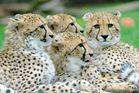 Junge Geparden