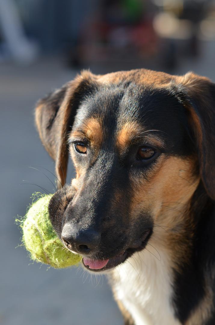 Junge Hündin mit ihrem Ball