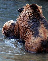 Junge Kodiakbären beim Rumtollen in der Frühlingssonne im ZOOM Erlebnispark Gelsenkirchen 1