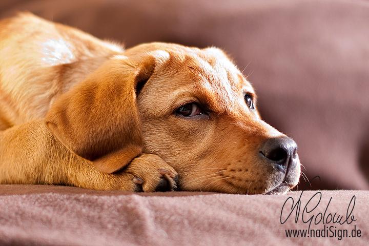 Junge Labrador-Hündin auf der Couch