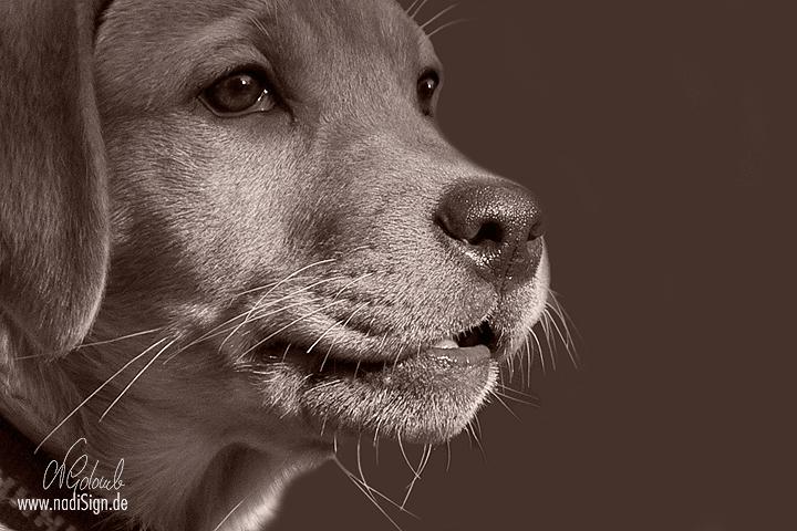 Junge Labrador-Hündin im Profil