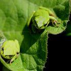 Junge Laubfrösche (Hyla arborea) aus Klepelshagen (Landkreis Uecker-Randow)