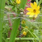 Junge Libelle