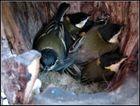Junge Meisen im Nest
