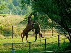 junge Pferde im Streit