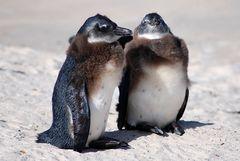 Junge Pinguine aus Südafrika verlieren ihr Federkleid