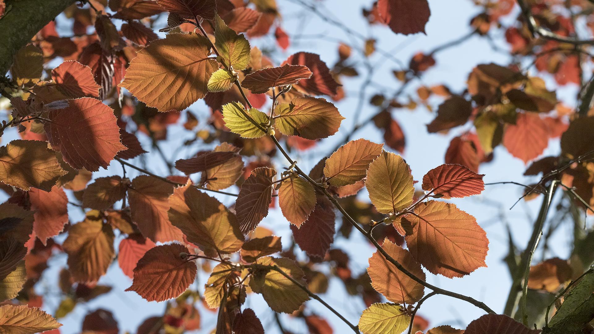 Junge ROTBUCHEN-Blätter