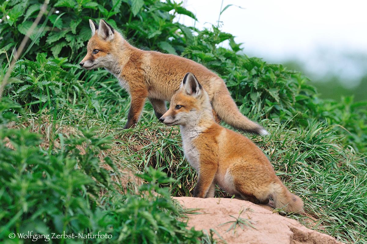 -- Junge Rotfüchse -