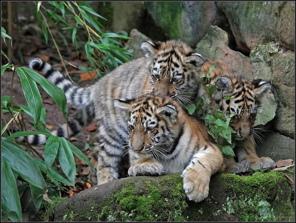 Tiergarten Nürnberg Tiger