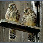 Junge Turmfalken Faucon Crécerelle Gheppio comune 24 B.Hagen ©