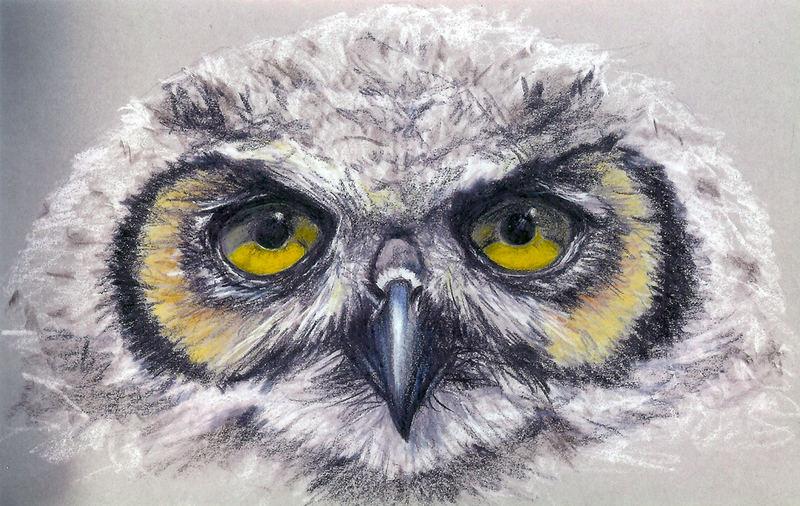 Junge Waldohreule / Asio otus (gezeichnet)