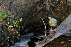 Junge Wasseramsel am Fluss