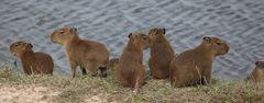 Junge Wasserschweine