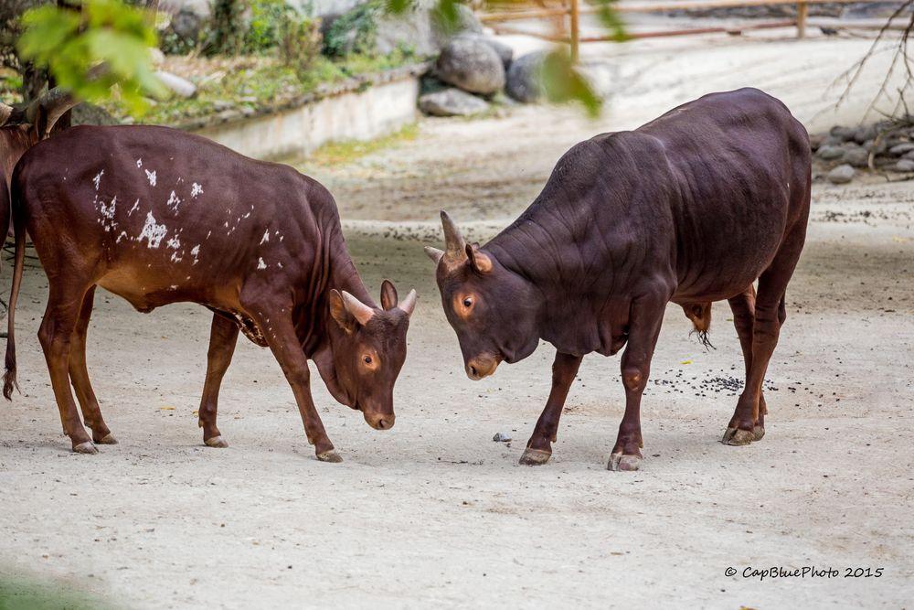 Junge Watussi-Rinder