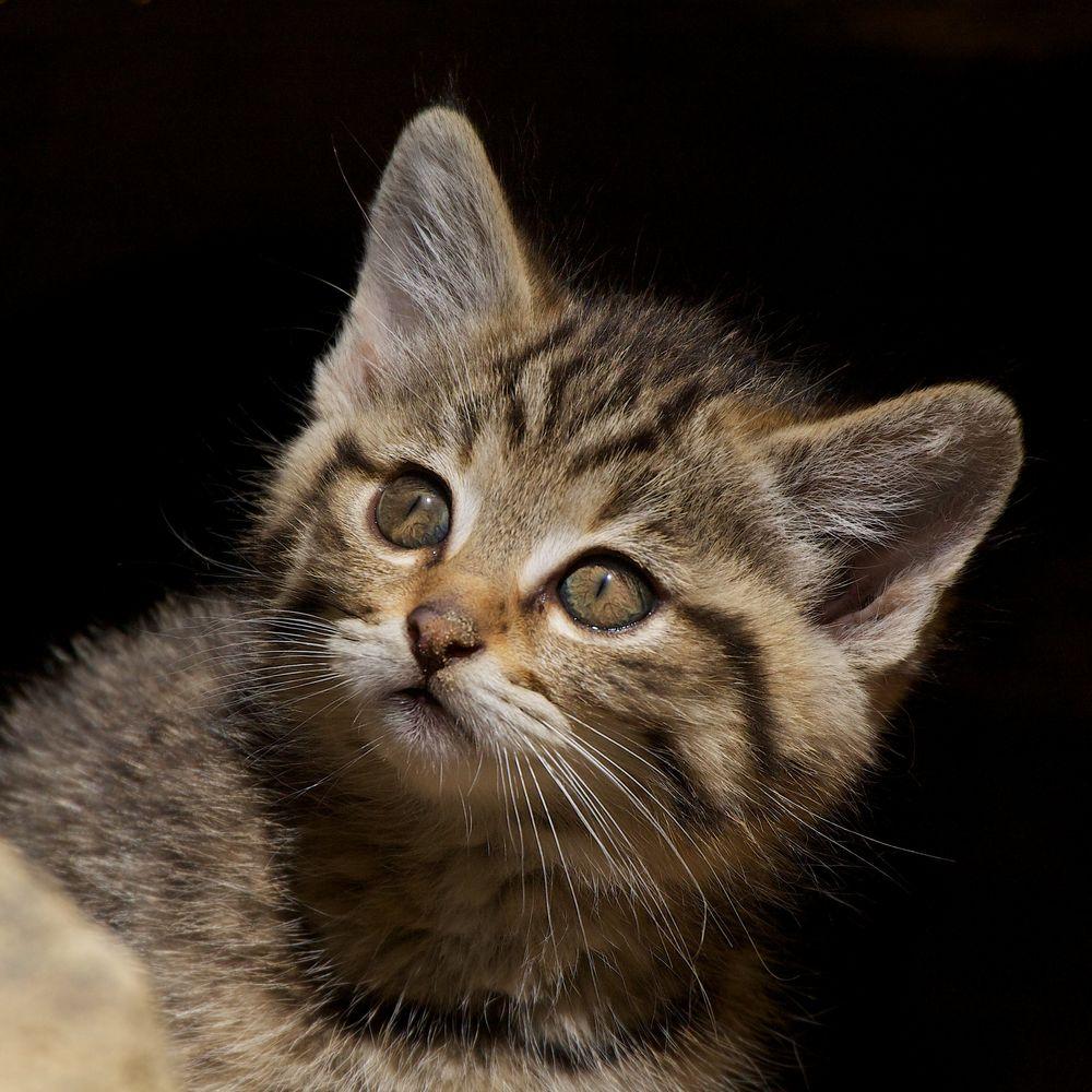 Junge Wildkatze 2