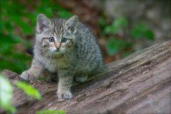 Junge Wildkatze 3