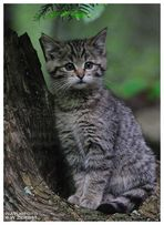 -- Junge Wildkatze -- ( Felis silvestris ) Bay. - Wald