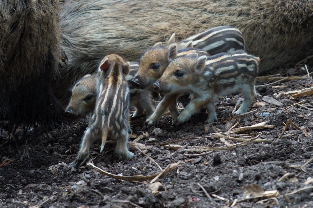 Junge Wildschweine
