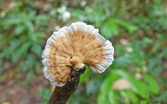 Jungel-Pilz