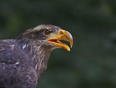 Junger Adler
