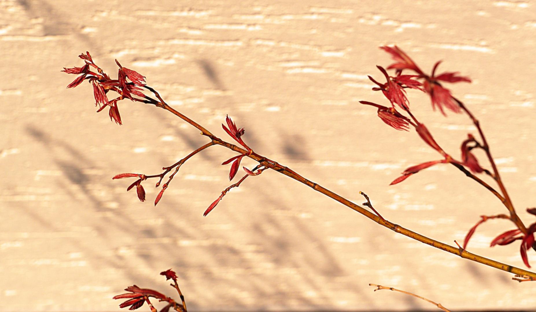 Junger Ahornzweig wirft Schatten auf der Hauswand.