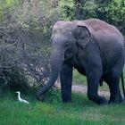 Junger asiatischer Elefantenbulle (Elephas maximus)