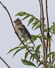 Junger Buchfink