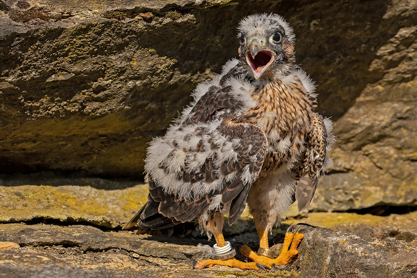 Junger Falke 001