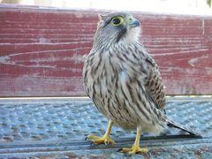 Junger Falke 3