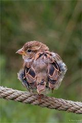 Junger Feldsperling - Passer montanus