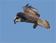 Junger Fischadler