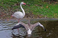 Junger Flamingo beim Baden (Neuwieder Zoo)