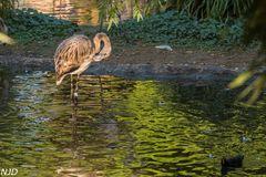 Junger Flamingo im Abendlicht